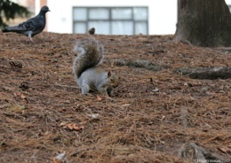 Squirrel but the pigeon be lurking.
