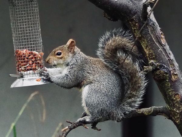 Squirrel by nclark