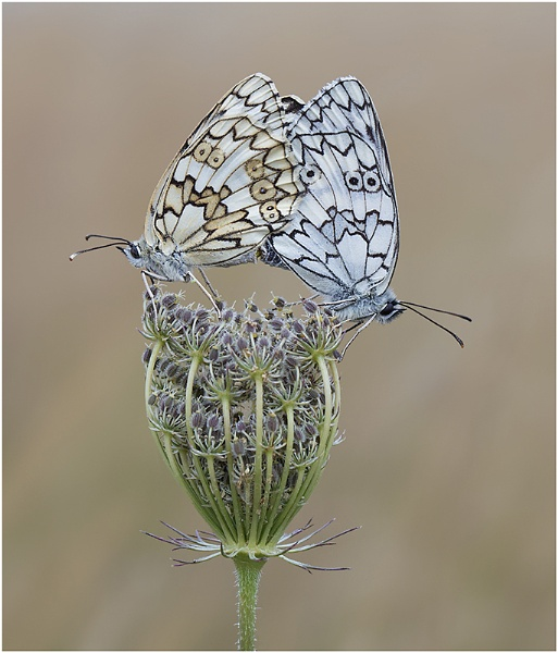 Esper\'s Marbled Whites. by NigelKiteley
