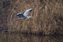 Heron by rickhanson
