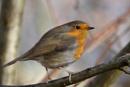 Robin by rickhanson