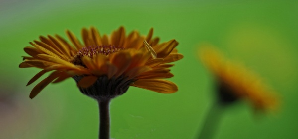 Gerbera......5 by Mollycat