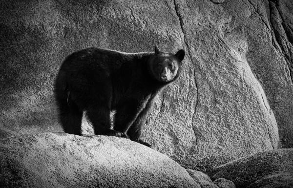 Black Bear, Knight Inlet, British Columbia