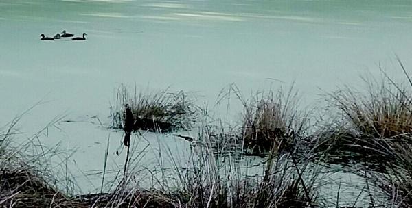 ducks in the green by Nesto