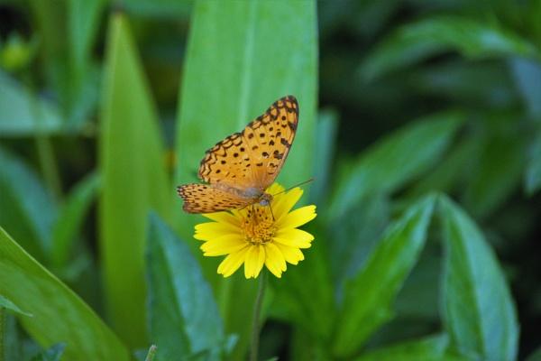 *** Common leopard butterfly ***