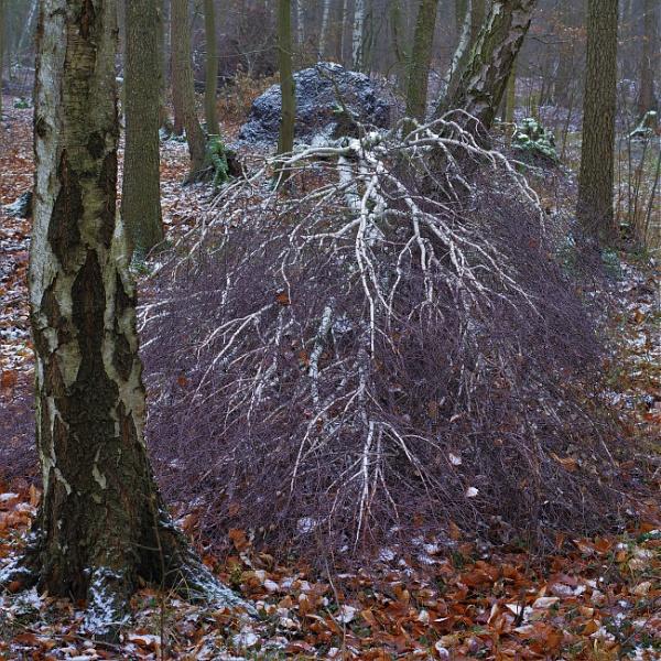 FOREST - Frosty Birch by PentaxBro