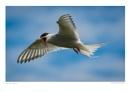 Artic Tern by running_man