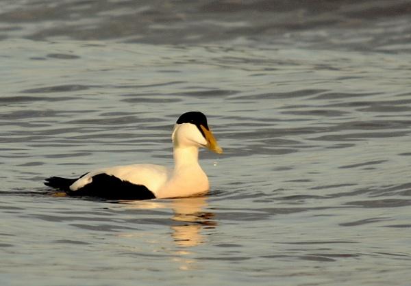 Eider Duck by CHIPPYX1X