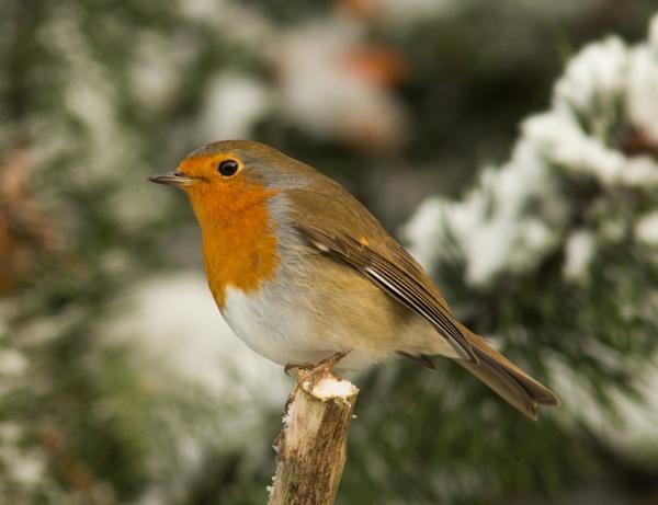 Christmas robin by oldgreyheron
