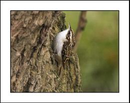 Treecreeper ( Certhia Familiaris. )