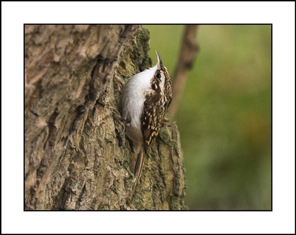 Treecreeper ( Certhia Familiaris. ) by Maiwand