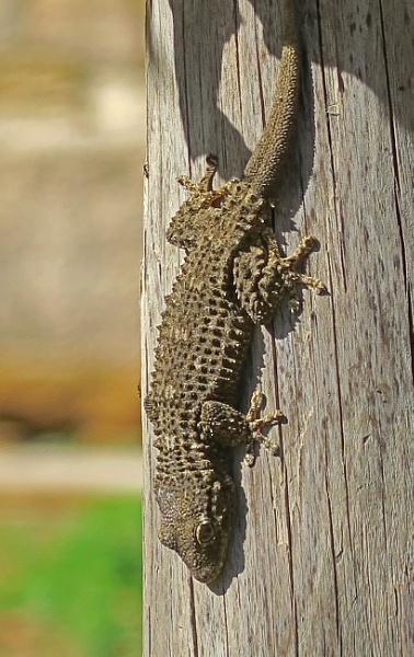 Gecko 2 by Silverzone