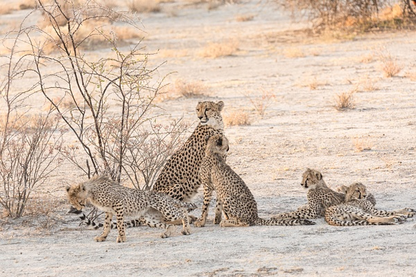 Cheetah and cubs Namibia by rontear