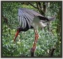 Black Stork by PhilT2