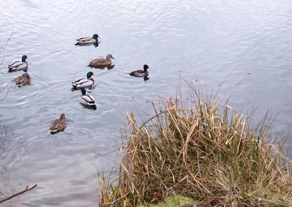 Ducks & Swans on Pond by Gypsyman