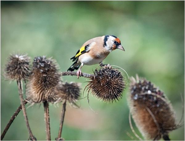 Goldfinch feeding on teazel.. by Fred263