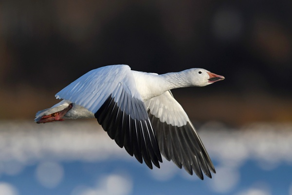 Snow goose by jacques st-jean