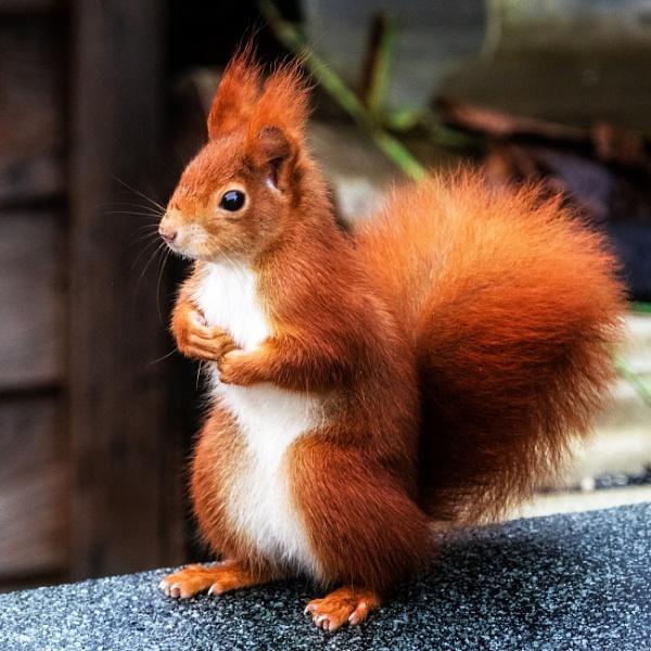 Red Squirrel - thinking ??? by aldasack1957