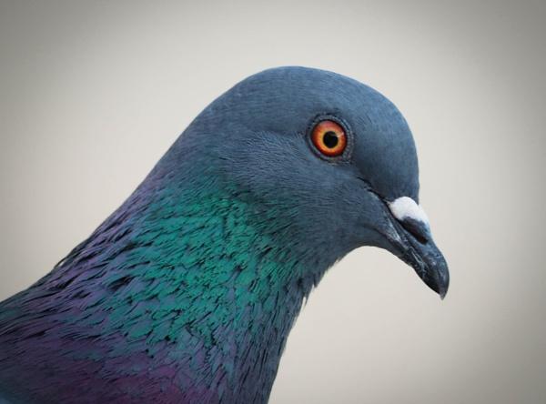 Pigeon Portrait by DaveRyder