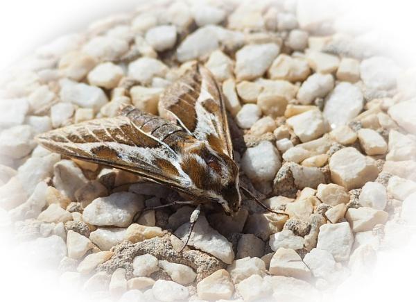 Hawk Moth by DaveRyder