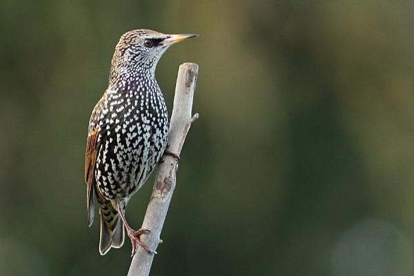 Starling--Sturnus vulgaris by bobpaige1