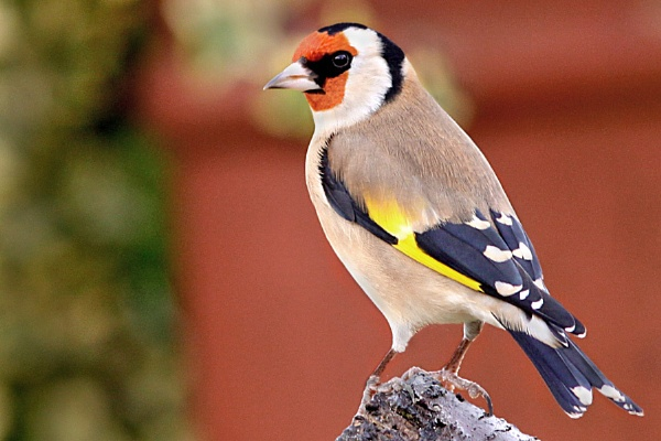 Goldfinch by bobpaige1