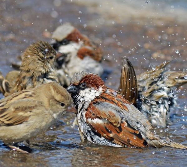 Sparrow bath by kingmukherjee