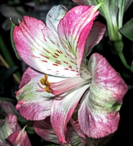 Pink petals (2)