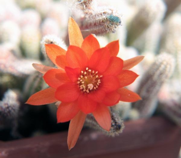Cactus Flower by DiegoCueto75