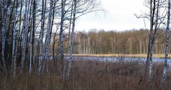 FOREST - Birch Lake by PentaxBro