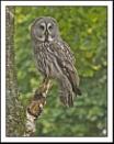 Great Grey Owl by Maiwand