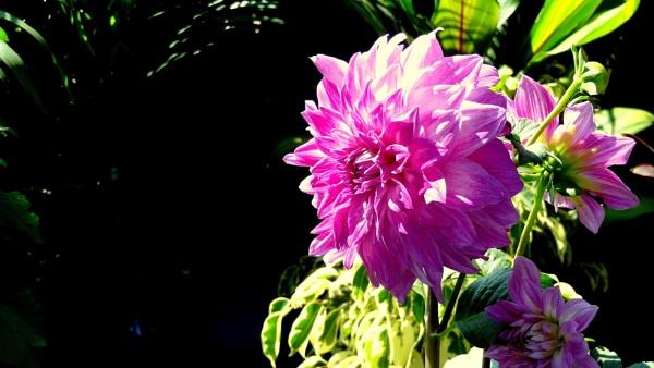 "\"" DAHLIA-FLOWER \"" by abssastry"