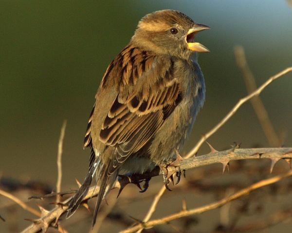 Singing Hedge Sparrow
