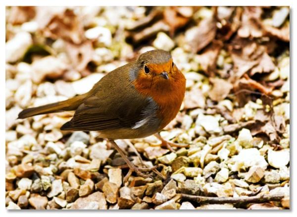 Little Robin Redbreast by bob0walker