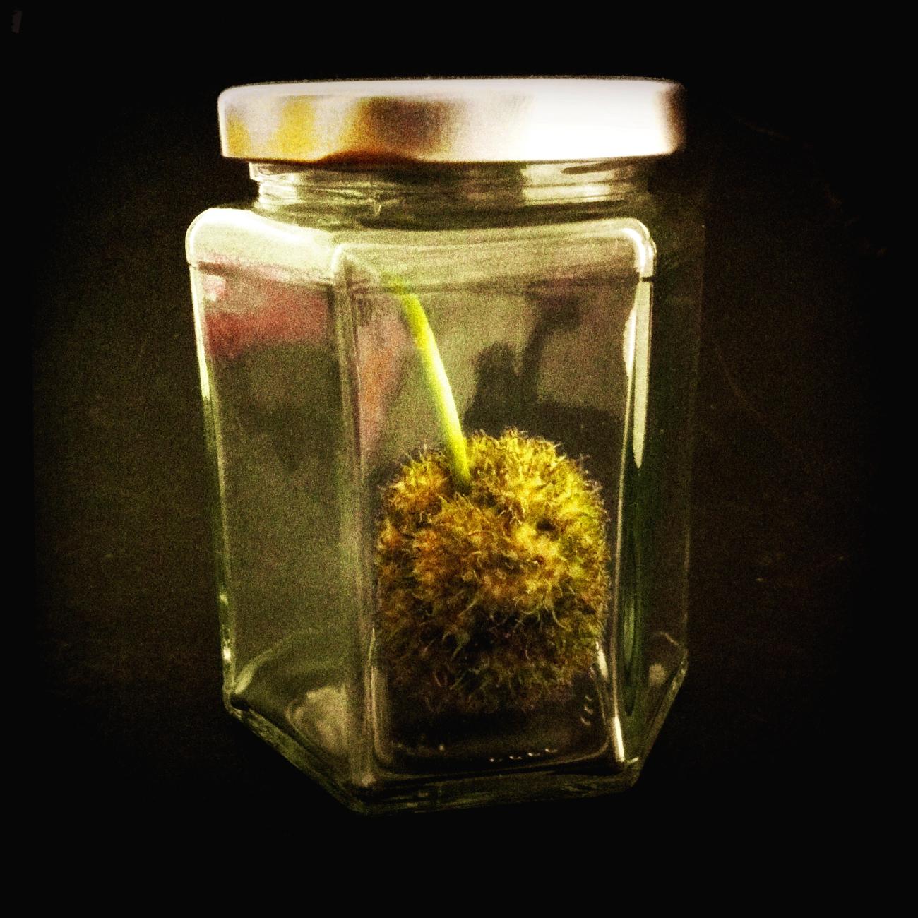 Seedpod in a jam jar