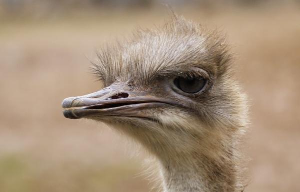 Ostrich by ali63