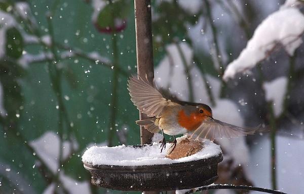 Winter robin by turniptowers