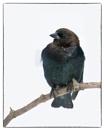 Brown-headed Cowbird by taggart