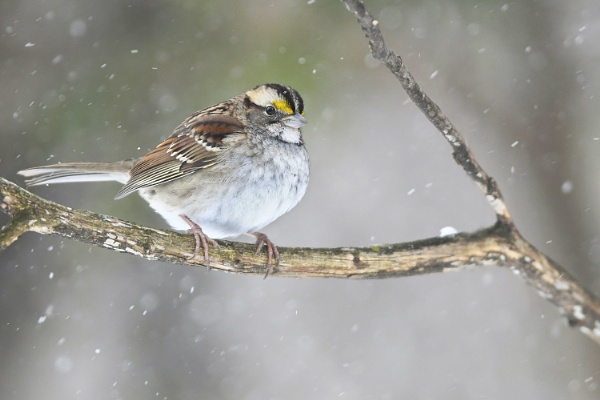 White-throated Sparrow by jacques st-jean