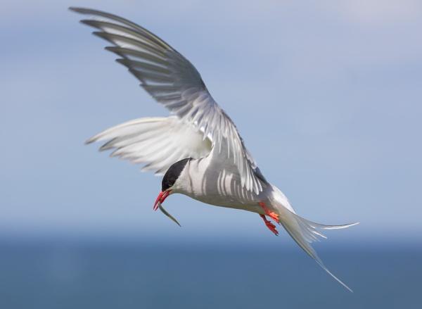 Arctic Tern by davetheo