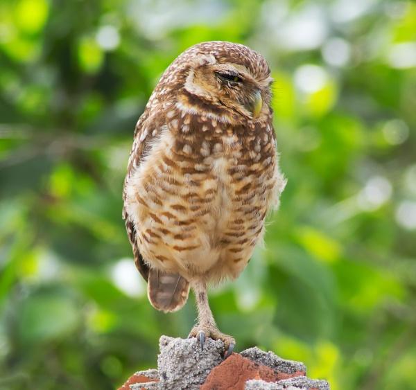 Owl (Athene cunicularia) by Kostas_74
