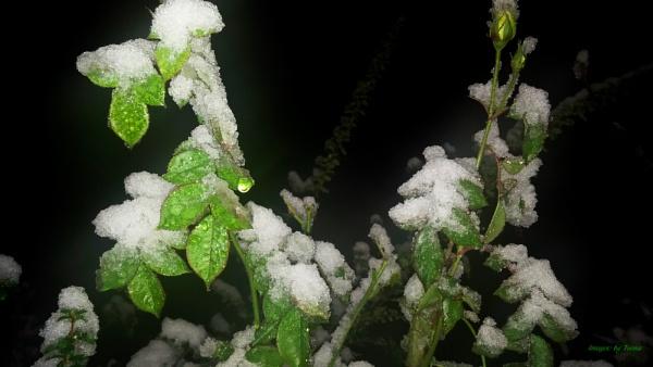 Snowfall - Nightfall.