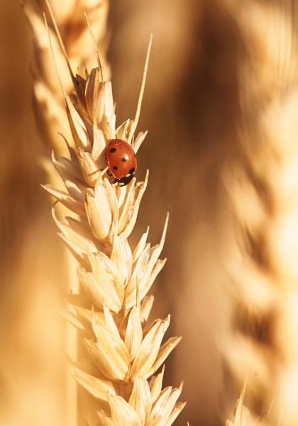 Ladybird by hannukon