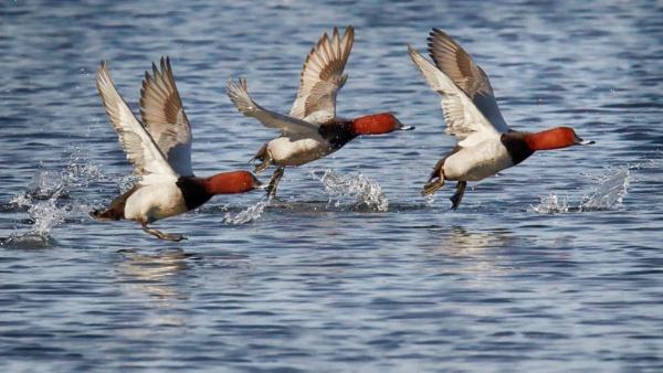 Common pochards by hannukon