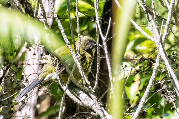 Bellbird NZ by barryyoungnz
