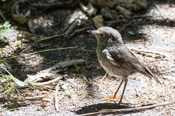 NZ Robin (I) by barryyoungnz