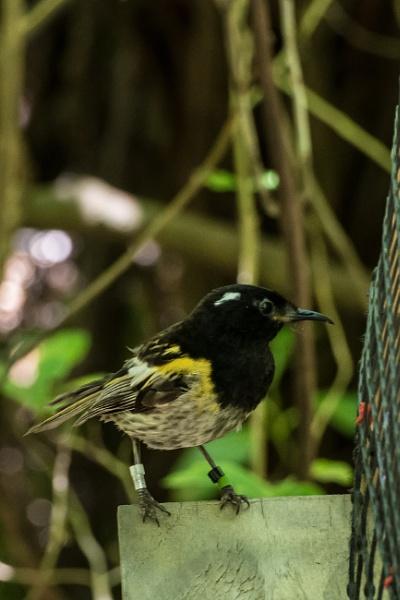 Hihi / Stitchbird  NZ by barryyoungnz