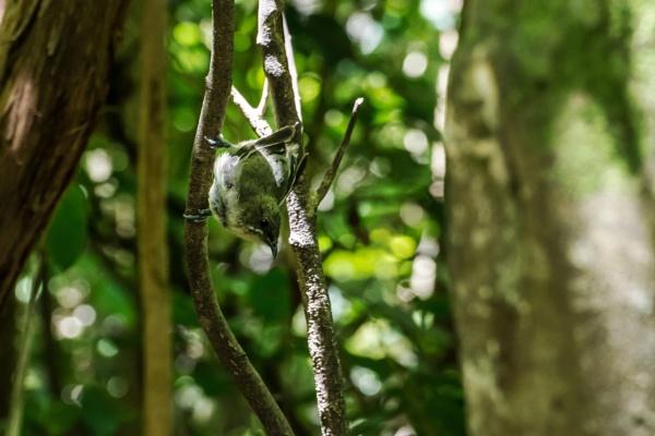 Bellbird - Female, juvenile  NZ by barryyoungnz