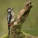 Great Spotted Woodpecker by KBan