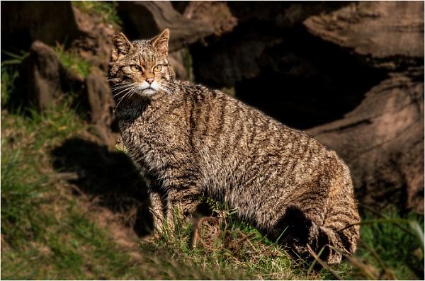 Wildcat by dven